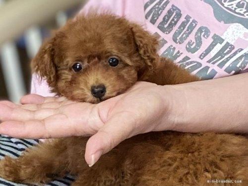 トイプードルの子犬(ID:1248511023)の1枚目の写真/更新日:2020-07-09