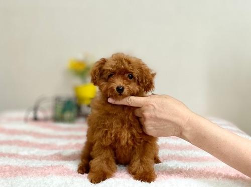 トイプードルの子犬(ID:1248511023)の3枚目の写真/更新日:2020-07-09