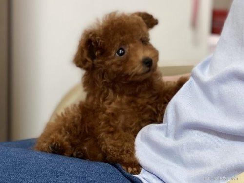 トイプードルの子犬(ID:1248511024)の1枚目の写真/更新日:2020-07-09