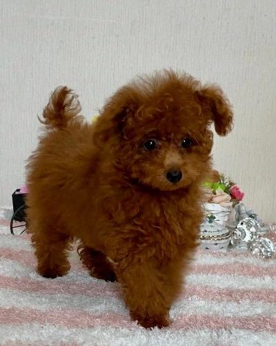 トイプードルの子犬(ID:1248511024)の2枚目の写真/更新日:2020-07-09