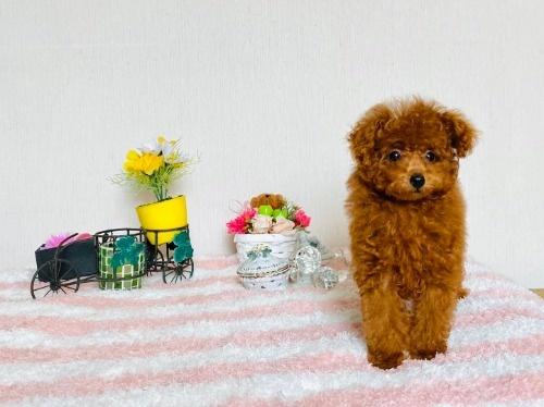トイプードルの子犬(ID:1248511024)の3枚目の写真/更新日:2020-07-09