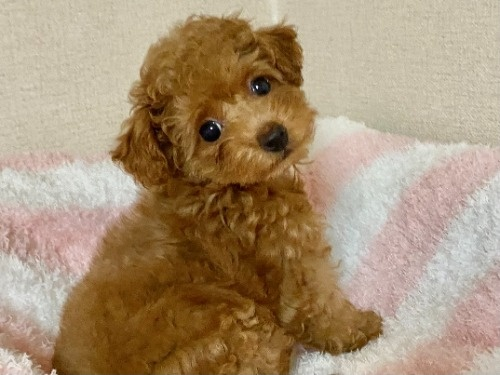 トイプードルの子犬(ID:1248511025)の1枚目の写真/更新日:2021-07-12