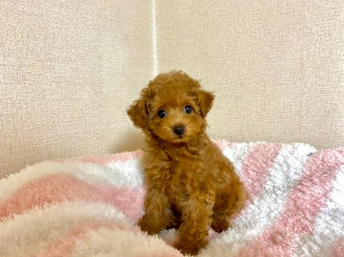 トイプードルの子犬(ID:1248511025)の2枚目の写真/更新日:2021-07-12
