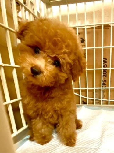 トイプードルの子犬(ID:1248511025)の3枚目の写真/更新日:2021-07-12