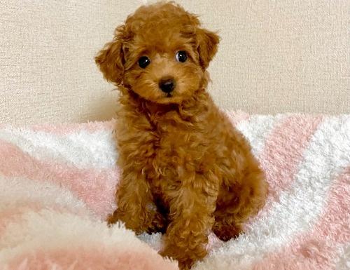トイプードルの子犬(ID:1248511025)の4枚目の写真/更新日:2021-07-12
