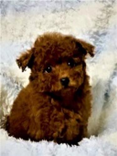 トイプードルの子犬(ID:1248511026)の1枚目の写真/更新日:2021-07-01