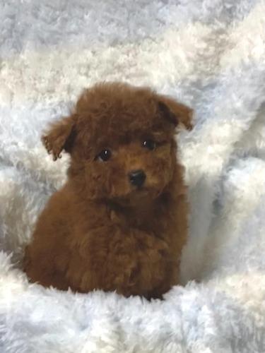 トイプードルの子犬(ID:1248511026)の2枚目の写真/更新日:2021-07-01