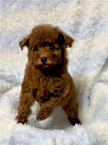 トイプードルの子犬(ID:1248511026)の4枚目の写真/更新日:2021-07-01