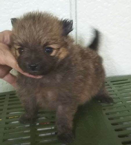 ポメラニアンの子犬(ID:1248811002)の1枚目の写真/更新日:2021-09-24