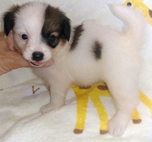 パピヨンの子犬(ID:1248811004)の3枚目の写真/更新日:2018-07-31
