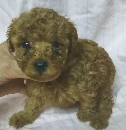 トイプードルの子犬(ID:1248811008)の1枚目の写真/更新日:2019-03-01