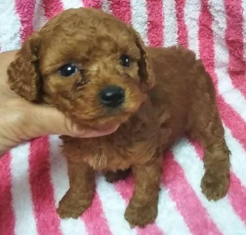トイプードルの子犬(ID:1248811011)の1枚目の写真/更新日:2019-03-01