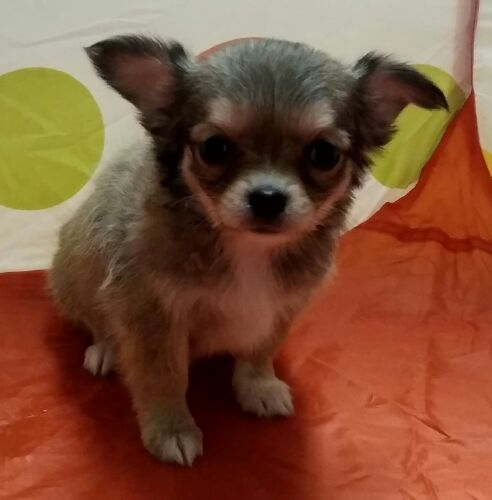 チワワ(ロング)の子犬(ID:1248811039)の2枚目の写真/更新日:2018-12-20