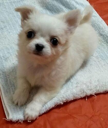 チワワ(ロング)の子犬(ID:1248811042)の1枚目の写真/更新日:2018-12-20
