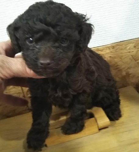 ミニチュアプードルの子犬(ID:1248811052)の1枚目の写真/更新日:2019-02-24