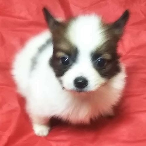 パピヨンの子犬(ID:1248811061)の1枚目の写真/更新日:2021-01-08