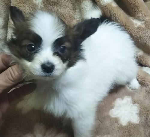 パピヨンの子犬(ID:1248811062)の1枚目の写真/更新日:2021-01-08