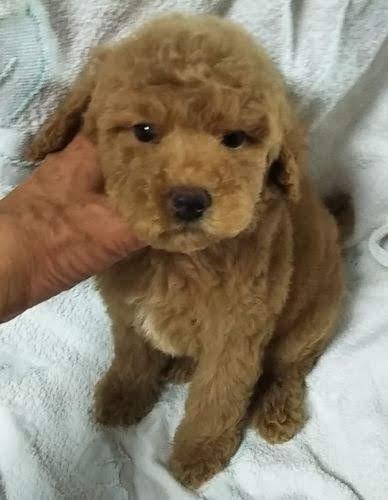 ミニチュアプードルの子犬(ID:1248811064)の1枚目の写真/更新日:2019-10-04