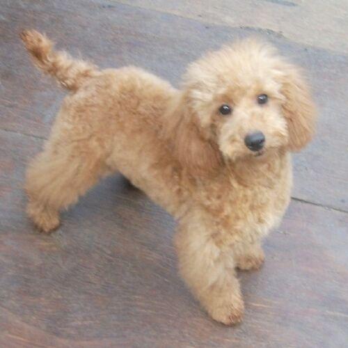 ミニチュアプードルの子犬(ID:1248811080)の1枚目の写真/更新日:2017-01-25