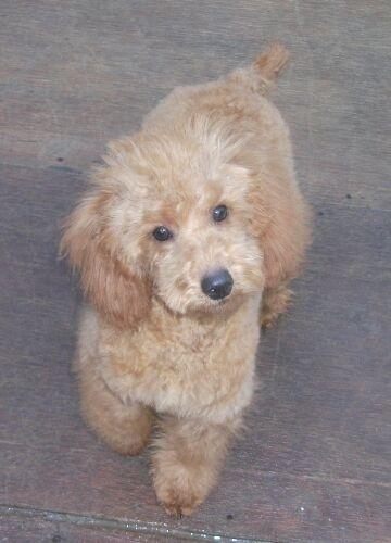 ミニチュアプードルの子犬(ID:1248811080)の2枚目の写真/更新日:2017-01-25