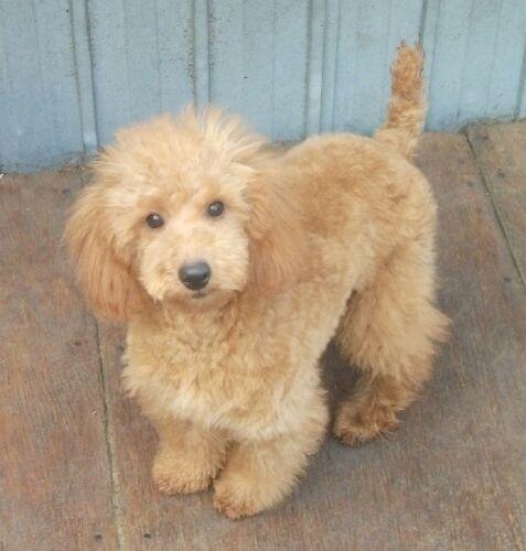 ミニチュアプードルの子犬(ID:1248811080)の3枚目の写真/更新日:2017-01-25