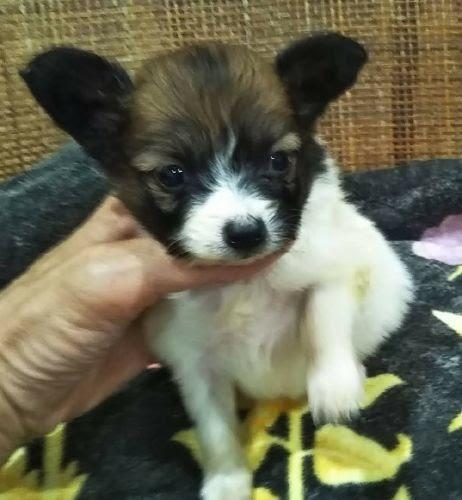 パピヨンの子犬(ID:1248811084)の1枚目の写真/更新日:2021-06-22