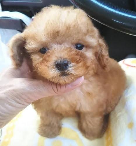 トイプードルの子犬(ID:1248811092)の1枚目の写真/更新日:2018-07-05