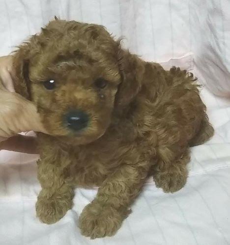 トイプードルの子犬(ID:1248811093)の1枚目の写真/更新日:2018-07-05