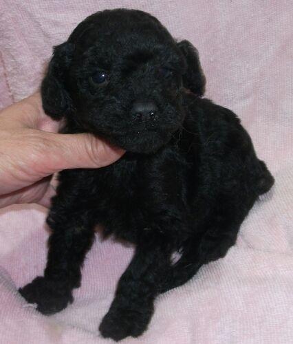 ミニチュアプードルの子犬(ID:1248811111)の1枚目の写真/更新日:2017-03-28
