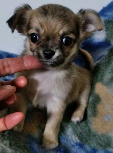 チワワ(ロング)の子犬(ID:1248811118)の1枚目の写真/更新日:2017-07-03