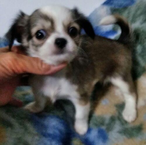 チワワ(ロング)の子犬(ID:1248811119)の1枚目の写真/更新日:2017-07-03
