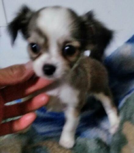 チワワ(ロング)の子犬(ID:1248811119)の2枚目の写真/更新日:2017-07-03