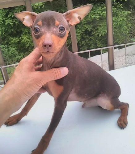 ミニチュアピンシャーの子犬(ID:1248811137)の1枚目の写真/更新日:2018-06-25