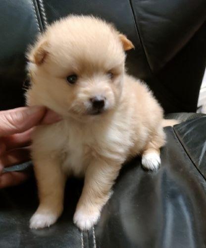 トイプードルの子犬(ID:1248811138)の1枚目の写真/更新日:2018-01-12