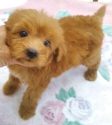 シーズーの子犬(ID:1248811140)の2枚目の写真/更新日:2018-02-05