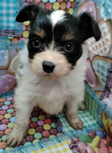 パピヨンの子犬(ID:1248811148)の1枚目の写真/更新日:2018-03-03