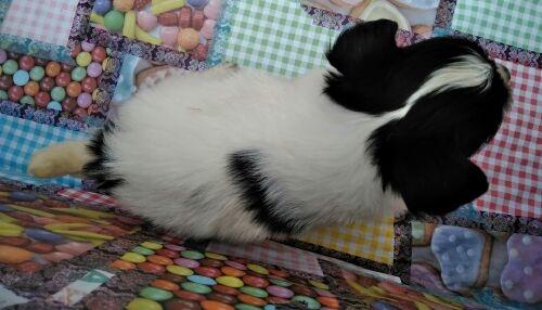 パピヨンの子犬(ID:1248811148)の2枚目の写真/更新日:2018-03-03