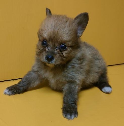ミックスの子犬(ID:1248811151)の1枚目の写真/更新日:2018-03-19