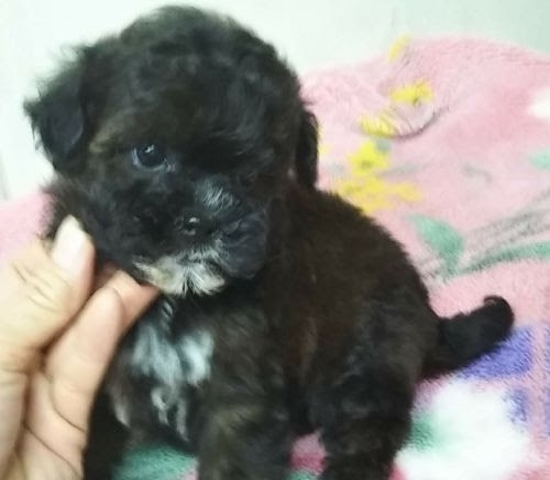 ミックスの子犬(ID:1248811152)の2枚目の写真/更新日:2018-03-19
