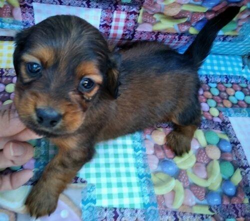 ミニチュアダックスフンド(ロング)の子犬(ID:1248811157)の1枚目の写真/更新日:2018-03-26