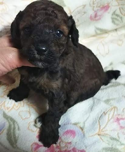 ミディアムプードルの子犬(ID:1248811160)の1枚目の写真/更新日:2018-04-27