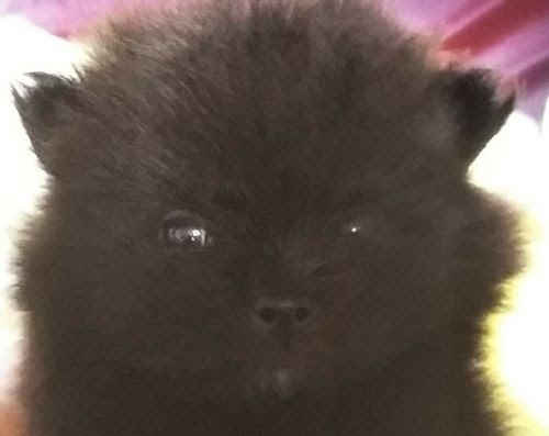ポメラニアンの子犬(ID:1248811161)の1枚目の写真/更新日:2018-05-15