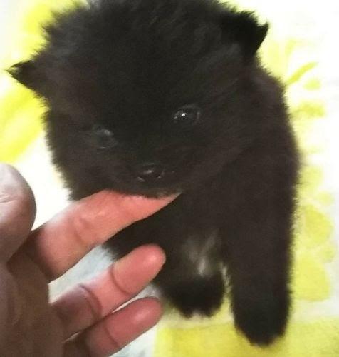 ポメラニアンの子犬(ID:1248811161)の2枚目の写真/更新日:2021-02-25