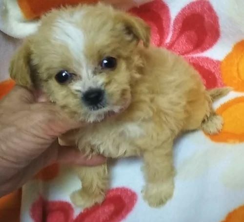 パピヨンの子犬(ID:1248811164)の1枚目の写真/更新日:2018-04-27