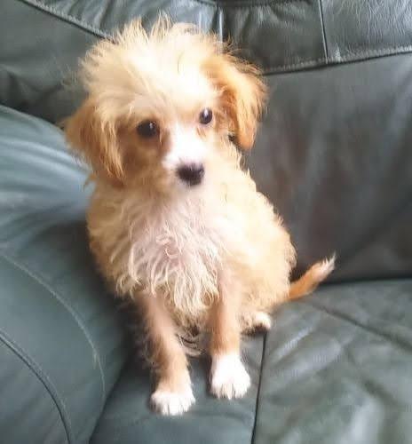 ミックスの子犬(ID:1248811164)の2枚目の写真/更新日:2019-05-31