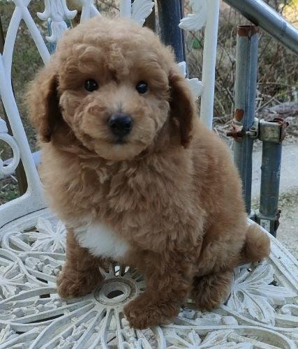 ミニチュアプードルの子犬(ID:1248811167)の1枚目の写真/更新日:2018-05-24