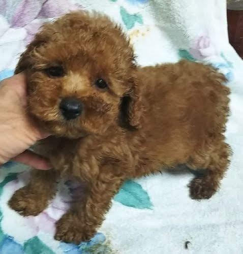 トイプードルの子犬(ID:1248811168)の1枚目の写真/更新日:2018-05-24