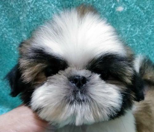シーズーの子犬(ID:1248811170)の1枚目の写真/更新日:2018-05-24