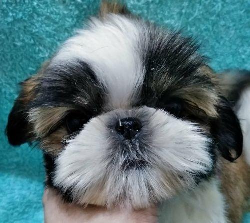 シーズーの子犬(ID:1248811171)の1枚目の写真/更新日:2018-05-24