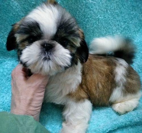 シーズーの子犬(ID:1248811171)の2枚目の写真/更新日:2018-05-24